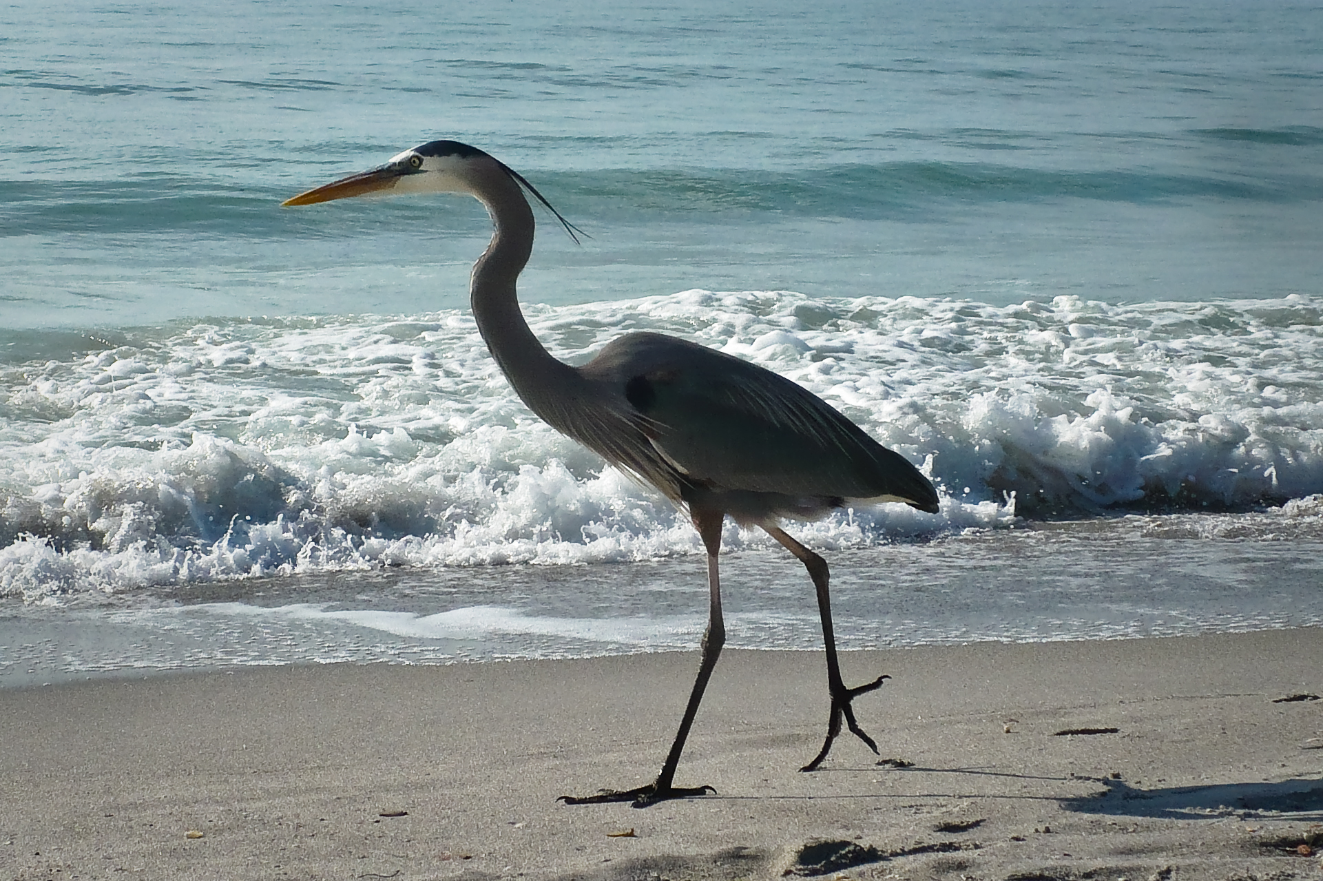 Blue Heron Cannon Beach