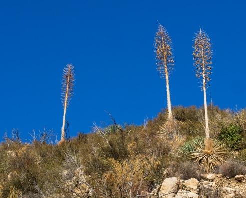 Hesperoyucca whipplei (syn. Yucca whipplei