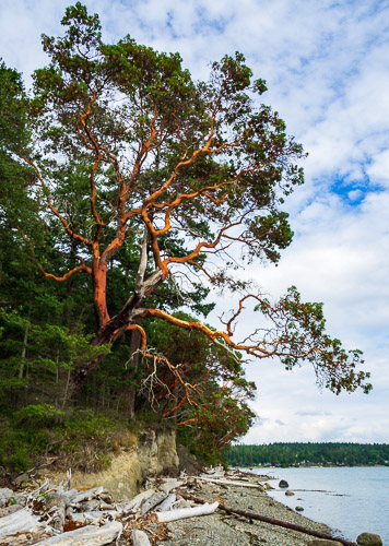Image result for madrone tree